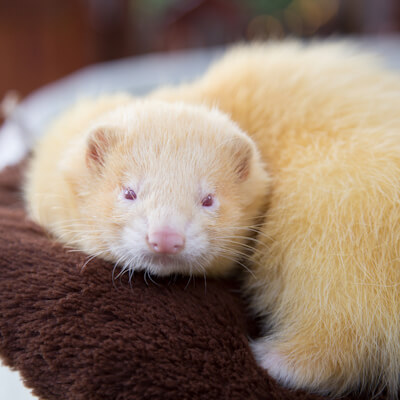 Parasitic diseases in ferrets