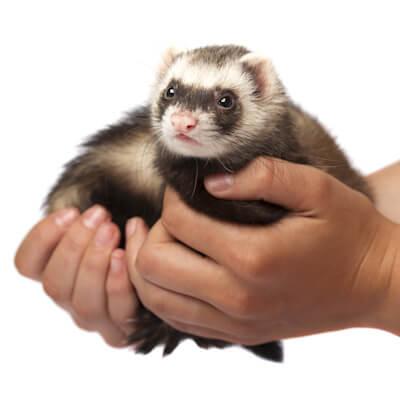 Handling your ferret