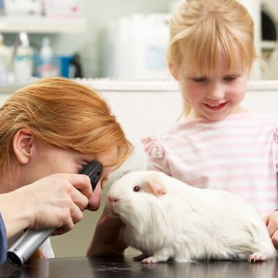 Health checks: how to examine your guinea pig
