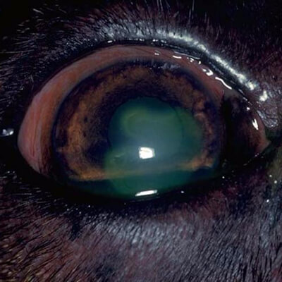 Corneal Ulcers – A Sore Eye