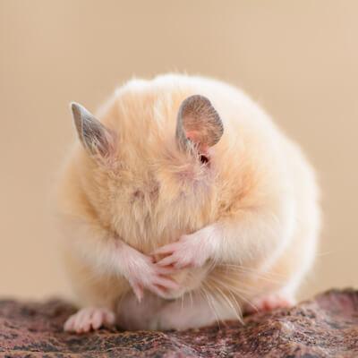 Hamsters: Parasitic Diseases