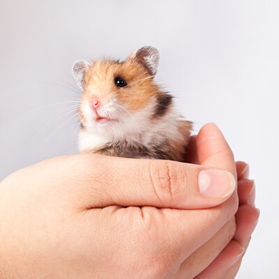 Hamsters: How To Handle
