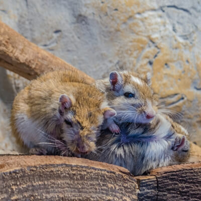 Gerbils: Parasitic Diseases